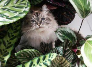 Is Calathea giftig voor katten