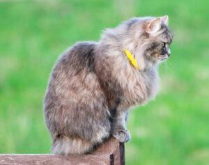 vlooienband kat