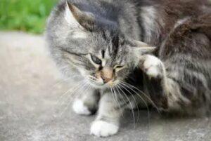 vlooiendruppels kat